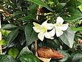 Gardenia jasminoides-CSI-yercaud-salem-India.JPG