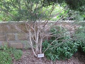 ejemplar-de-arbol-de-te-malaleuca-alternifolia