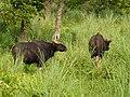 Gaur cow Jaldapara WLS AJTJ P1010889.JPG