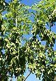 Gemeine Esche (Fraxinus excelsior) - Fruchtstand 01.JPG