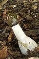 Gemeine Stinkmorchel Phallus impudicus 3.jpg