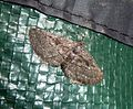 Geometridae. Ennominae. Boarmiini. Nychiodes (Nychiodes) hispanica - Flickr - gailhampshire.jpg