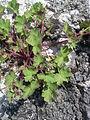 Geranium rotundifolium plant.jpg