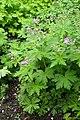 Geranium wlassovianum kz02.jpg