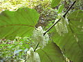 GiantKnotweed056.jpg