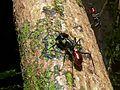Giant Ant (Camponotus gigas) (7753082340).jpg