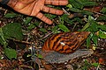 Giant tiger land snail (Achatina achatina) with hand.jpg