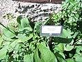 Giardino botanico di Brera (Milan) 195.jpg