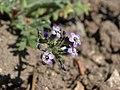 Gilia brecciarum brecciarum 56633498.jpg