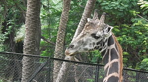 Giraffa camelopardalis from Nehru Zoological park Hyderabad 4365.JPG