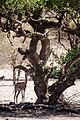 Giraffgasell-2.jpg