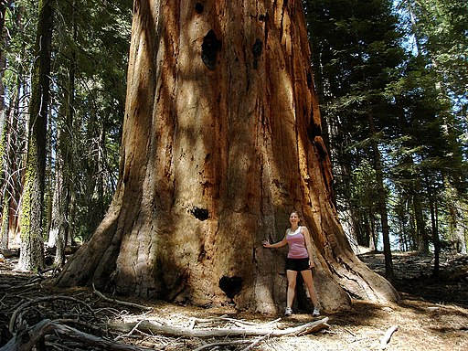 Girl next to a big old sequoia in the Sugar Bowl in Sequoia National Park