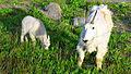 Glacier national park mountain goats.jpg