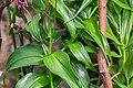 Gloriosa superba in Botanischer Garten Muenster (1).jpg