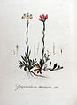 Gnaphalium dioicum — Flora Batava — Volume v8.jpg