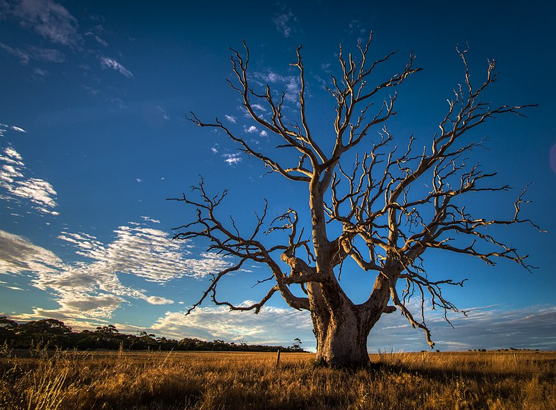 File:Gnarly Old Tree - South Australia.jpg