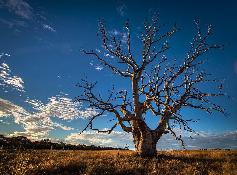 File:Gnarly Old Tree - South Australia.jpg