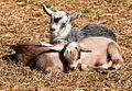 Goat kids at Cedarock Historical Farm.jpg