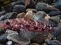 Gobius cruentatus.002 - Aquarium Finisterrae.JPG