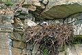 Golden Eagle Nest (9511502641) (2).jpg