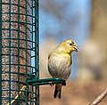 Goldfinch at Green-Wood Cemetery (50019).jpg