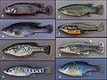 Goodeid fishes (10.3897-zookeys.885.38152) Figure 1.jpg