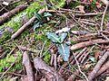 Goodyera oblongifolia (western rattlesnake plantain) - Flickr - brewbooks.jpg