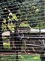 Gorilla 1, Limbe.jpg