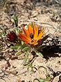 Gorteria diffusa Hantham 02.jpg
