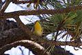 Grace's Warbler - Rustler Park - Cave Creek - AZ - 2015-08-16at12-33-401 (21016356263).jpg