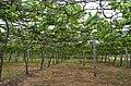 Grapes @ Theni - panoramio (1).jpg