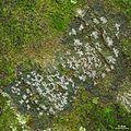 Graphidaceae - Flickr - pellaea (1).jpg