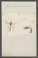 Gravenhorstia - Print - Iconographia Zoologica - Special Collections University of Amsterdam - UBAINV0274 046 04 0047.tif
