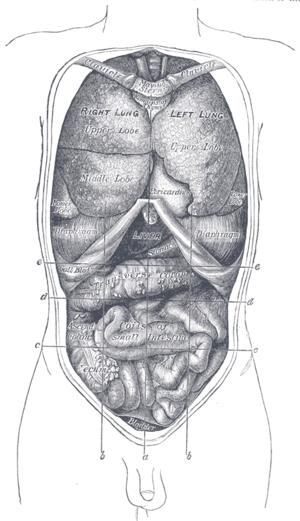 Hypochondrium - Image: Gray 1034