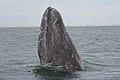 Gray Whale Spyhopping courtesy of Marc Webber USFWS.jpg