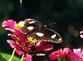Great Eggfly (15067516011).jpg