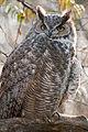 Great Horned Owl (5255796051).jpg
