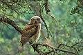 Great Horned Owl (juvenile) (28706055697).jpg