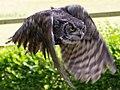 Great Horned Owl 3a (6019754270).jpg