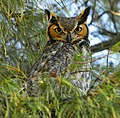 Great Horned Owl at Fort DeSoto - Flickr - Andrea Westmoreland.jpg