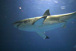 Uno squalo bianco nuota nel Monterey Bay Aquarium