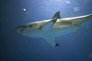 Monterey Bay Aquarium - A captive juvenile great white shark swims in the aquarium's Open Sea exhibit in 2006