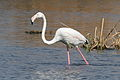 Greater Flamingo, Phoenicopterus roseus at Marievale Nature Reserve, Gauteng, South Africa (20848251054).jpg