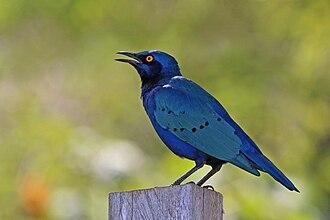 Greater blue-eared starling - in Kenya