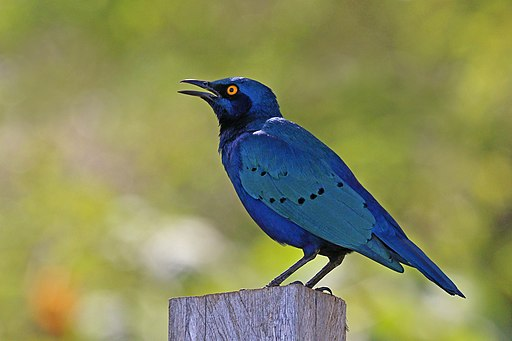Greater blue-eared starling (Lamprotornis chalybaeus)