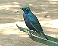 Greater blue-eared starling (Lamprotornis chalybaeus) -Kruger.jpg