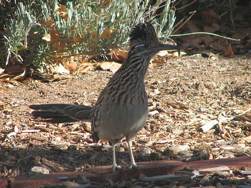 Greater roadrunner 02