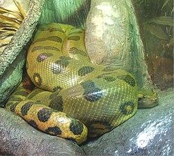 Green anaconda at the New England Aquarium.