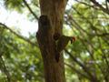 Green-barred Woodpecker.png