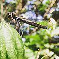 Green Marsh Hawk at Mechode Padur.jpg